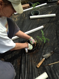 planting tomatoes 2