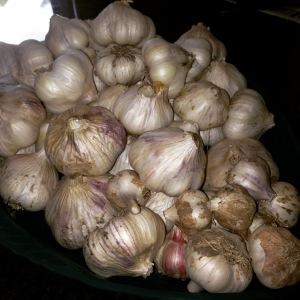 Garlic-2015