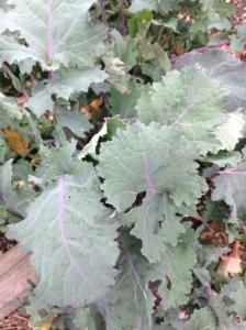 ragged leaf kale