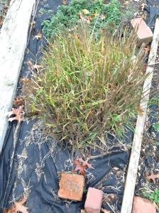trimmed onion grass